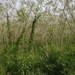récolte de manioc