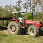 la récolte du manioc
